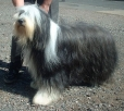 Bearded Collie, 1.5 years, Black and White