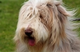 Bearded Collie, 3 years, White