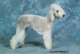Bedlington Terrier, 11, blue