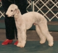 Bedlington Terrier, 2, Blue