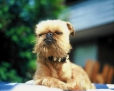 Brussels Griffon, 1 years, Brown
