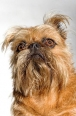 Brussels Griffon, 1.5 years, Brown