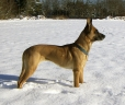 Belgian Malinois, 1 year, Brown