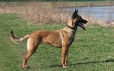 Belgian Malinois, 11 months, Brown