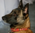Belgian Malinois, 4 years, Brown