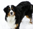 Bernese Mountain Dog, 1 year, Tri Color