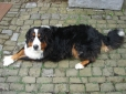 Bernese Mountain Dog, 2 years, Tri Color