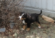 Bernese Mountain Dog, 8 weeks, Tri-Color