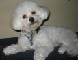 Bichon Frise, 1 Year, white