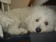 Bichon Frise, 4 years, white