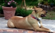 Black Mouth Cur, 4y, fawn