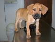 Black Mouth Cur, 6 weeks, Brown