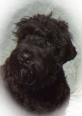 Black Russian Terrier, 1 year, black