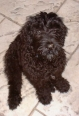 Black Russian Terrier, puppy, black