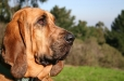 Bloodhound, 2 years, Brown