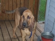 Bloodhound, 2, Black and Tan