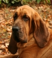 Bloodhound, 3 years, Brown