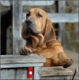 Bloodhound, 4 months, Brown