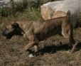 Boerboel, 2.5 Years Old, Brindle