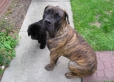 Boerboel, 6 Months Old, Red Brindle
