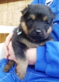 Bohemian Shepherd, 3 weeks, Black and Tan