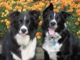 Border Collie, 5 & 3, black & white