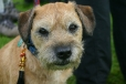 Border Terrier, 1 year, Brown