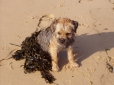 Border Terrier, 10 months, Red Grizzle