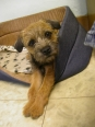 Border Terrier, 2, Grizzle