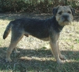 Border Terrier, 3 years, Brown
