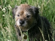 Border Terrier, 4 months, Brown