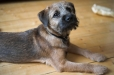 Border Terrier, 6 months, Brown