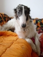 Borzoi, 1 year, Black and White