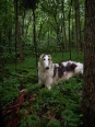 Borzoi, 2 years, White