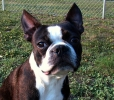 Boston Terrier, 1 year, Black and White