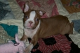 Boston Terrier, 10 weeks, seal (red)