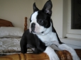 Boston Terrier, 5 Months, Black & White