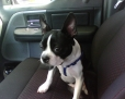 Boston Terrier, 8 months, black and white