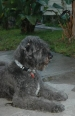 Bouvier des Flandres, 1.5 years, Gray