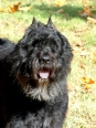 Bouvier des Flandres, 5 years, Gray