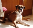 Boxer, 11 MONTHS, BROWN