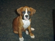 Boxer, 13 weeks, Fawn & White