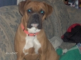 Boxer, 2 yrs, Fawn
