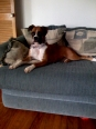 Boxer, 2, Fawn