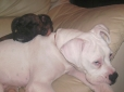 Boxer, 4 & 5mths, Brindle & White