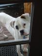 Boxer, 4, white