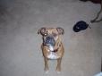 Boxer, 9, fawn