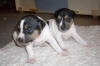 Brazilian Terrier, 3 weeks, tricolor black
