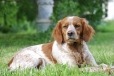 Brittany Spaniel, 1 year, Brown