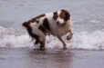 Brittany Spaniel, 2.5 years, Brown